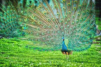 peacock-strutting-full